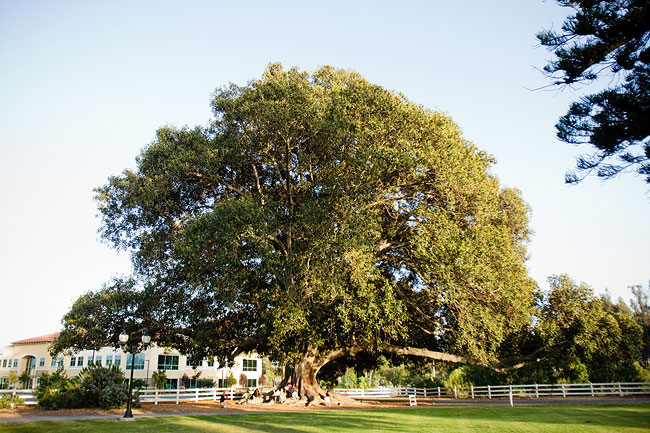 Giant tree on grounds of Camarillo Ranch