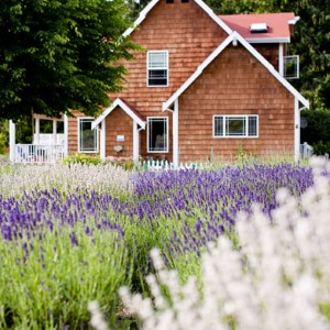 purple haze farm