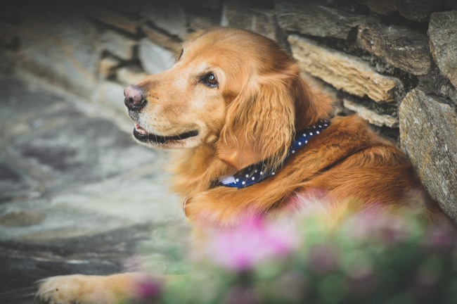 Golden retriever dog at wedding ceremony at North Carolina Arboretum