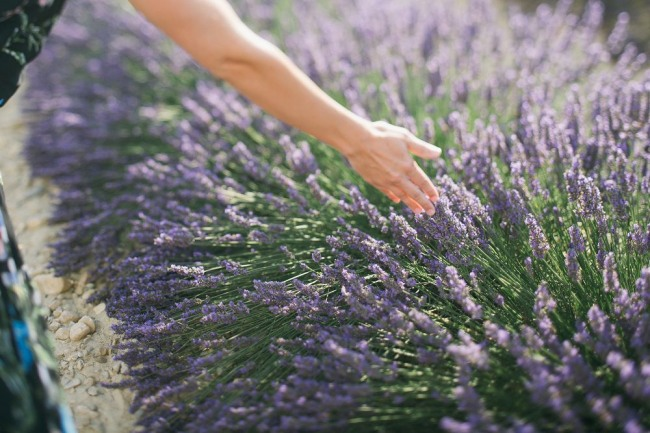 walking by touching the lavender plants