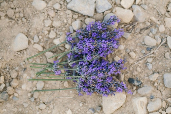 fresh lavender on gravel path