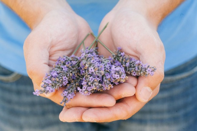 hands cupping dried lavender
