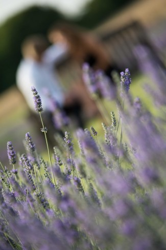 Lavender sprigs in focus in foreground