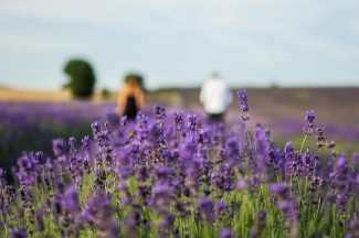 Closeup focus on lavender with couple walking through rows behind