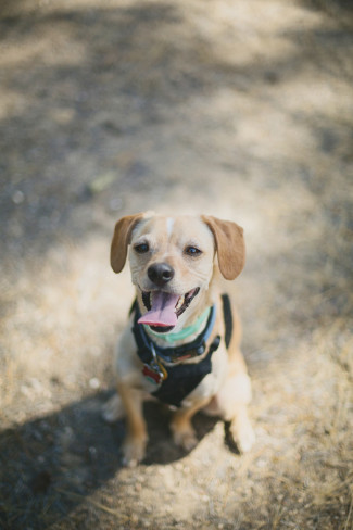 A puggle standing in the forest looking up to the camera with his tongue out