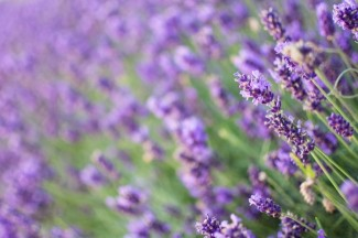Closeup photo of lavender