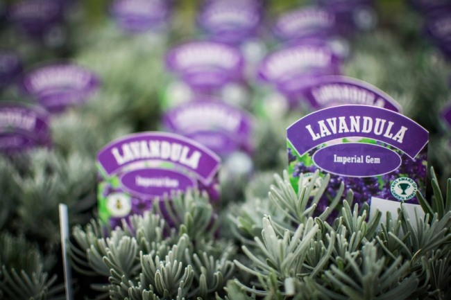 Row of young lavandula plants with sign