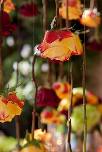 Orange and red roses hanging upside down outdoors