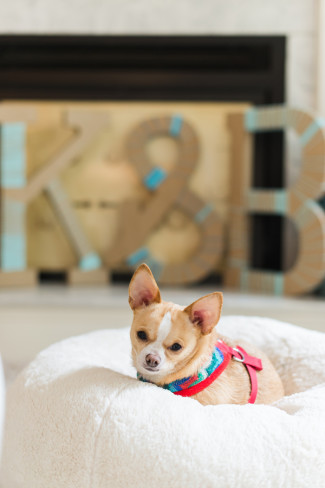 A chihuahua sitting on a dog bed with bride and groom's initials in the back ground