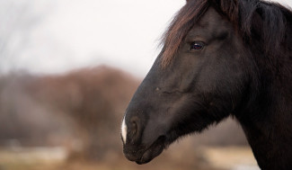 black horse with a white tipped nose