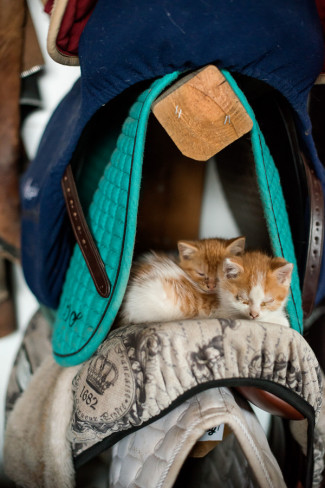 2 orange and white kittens sleeping on a saddle