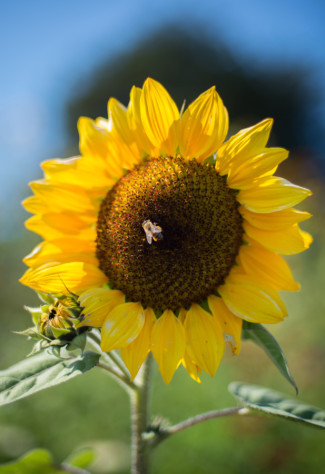 yellow sunflower with honey bee in middle