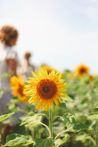 Picture of a sun flowers with the bride standing behind