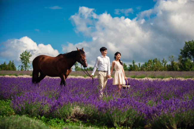 Engagement shoot in a lavender field with a brown horse