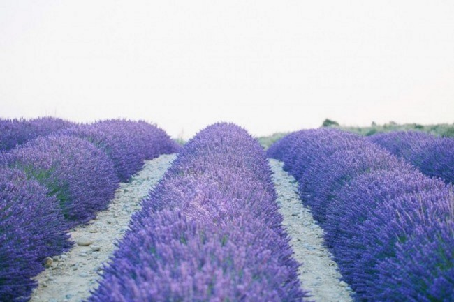 lavender field rows for producing essential lavender oil