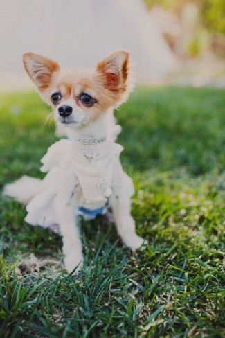 Chihuahua dog dressed up for an outdoor wedding