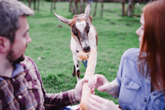Engaged couple feeding a bread stick to a goat