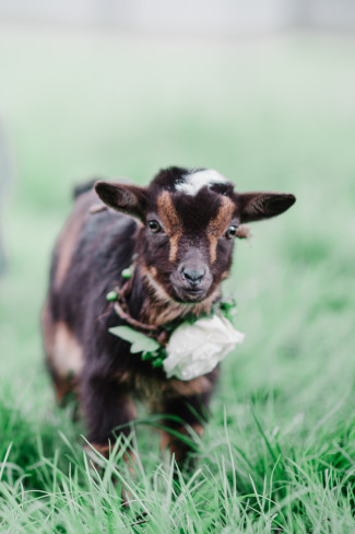 Baby goat with floral necklace created by Il Bel Fiore for engagement shoot