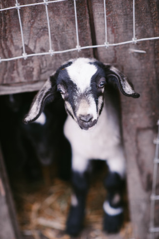 Goat coming out of shed captured by Barrie Anne Photography on left foot farms