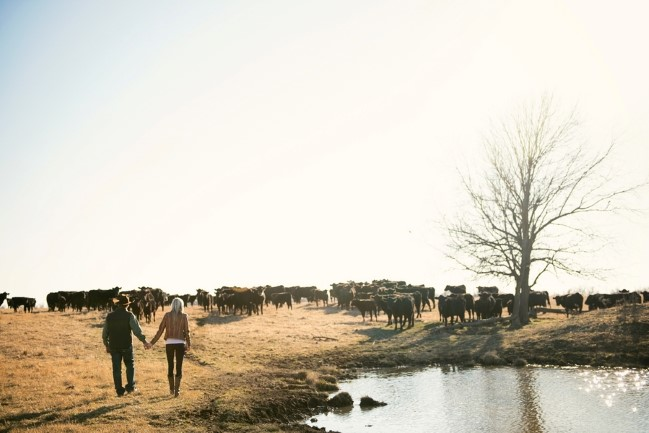 Couple walking hand in hand on a ranch with cows in the background