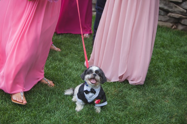 Small dog wearing a tuxedo for wedding ceremony