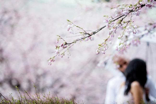 couple portrait through cherry blossom branch