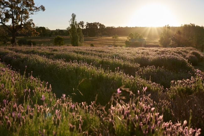 sunset on lavender field