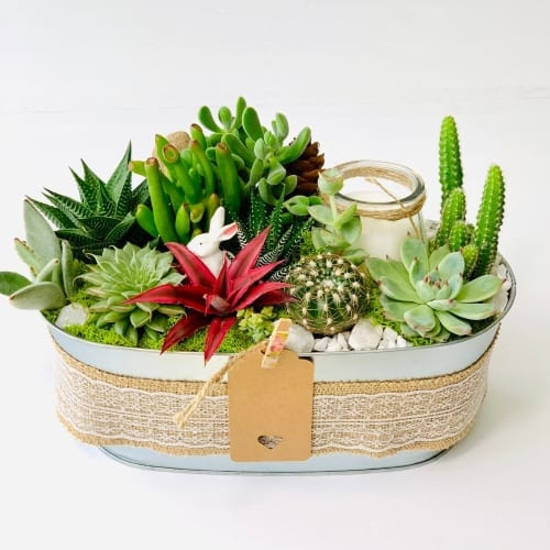 Live Succulent Arrangement with lace ribbon for anniversary gift