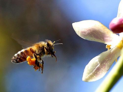 honeybee pollinating a flower