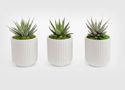 three pointy succulent plants in white pots