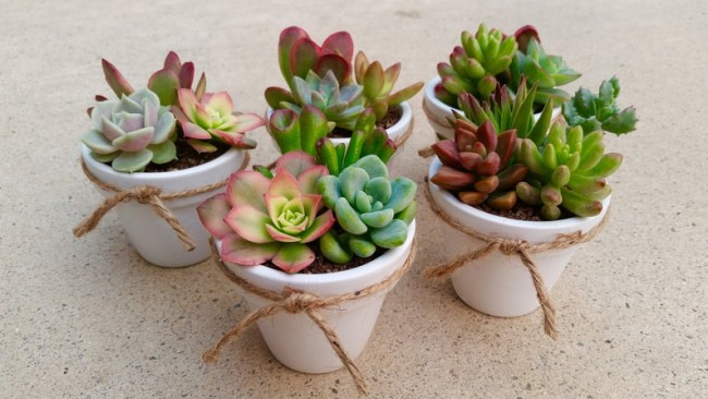 Potted Decorative Succulents